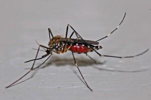 mosquito-562066_640